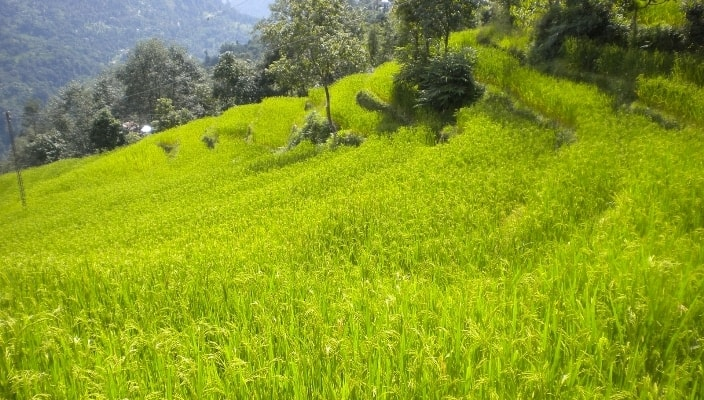 Organic-rice-being-grown-in-Sikkim.-The-state-intends-to-become-fully-organic-by-2015_._.jpg