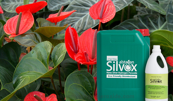 Anthurium_Cultivation_Disinfection11.jpg