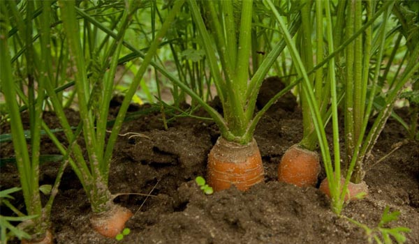 Carrot_Cultivation_Disinfection-.jpg