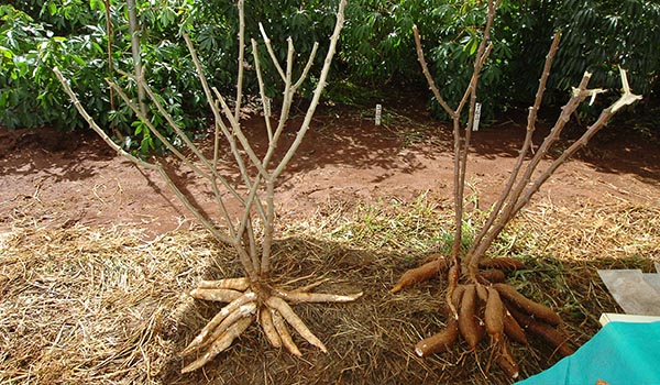 Cassava_Cultivation_Disinfection.jpg