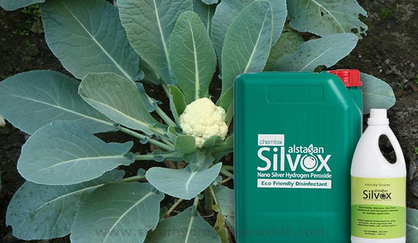 Cauliflower_Cultivation_Disinfection-1.jpg