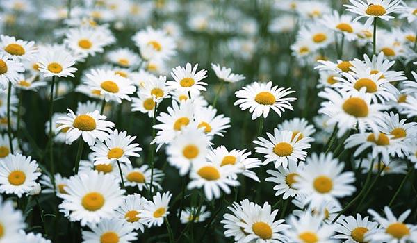 Daisy_Cultivation_Sanitation.jpg