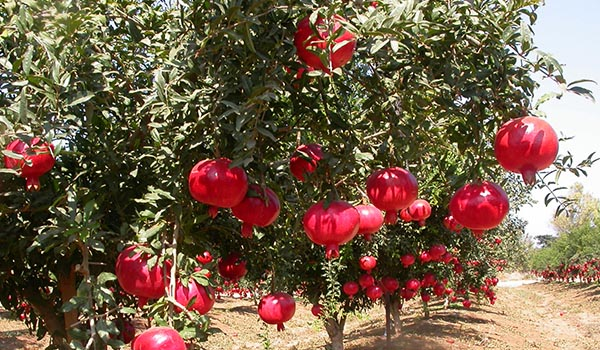 Pomegranate_Cultivation_Disinfection.jpg