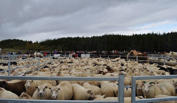 Sheep_Pen_Sanitation12.jpg