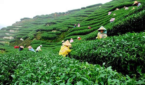 Tea_Plantation_Sanitation.jpg