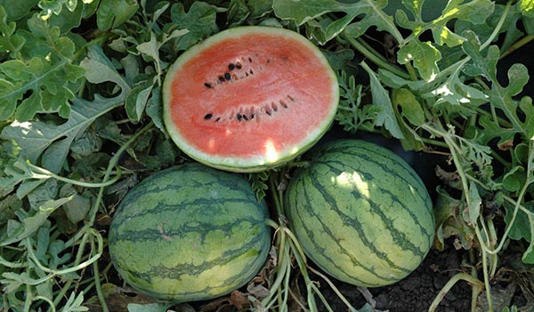 Watermelon_Cultivation_Disinfection.jpg